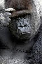 Gorilla-Thinking