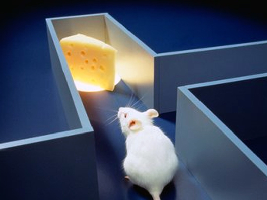 Image result for mouse in maze picture