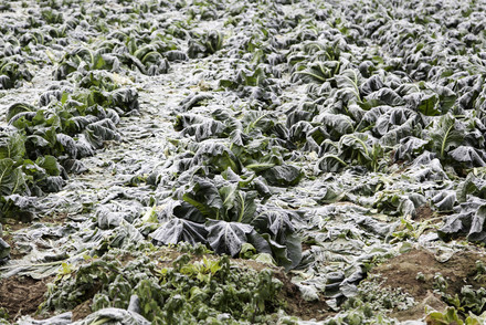 Lettuce Frozen